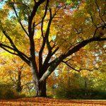 Ahorn im Herbstlicht © Lars Baus 2015