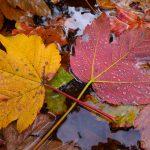 Ahornblätter im Herbst © Lars Baus 2017