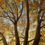 Ahornkrone im Herbst © Lars Baus 2013