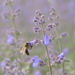 Biene auf Nektarsuche © Lars Baus 2019