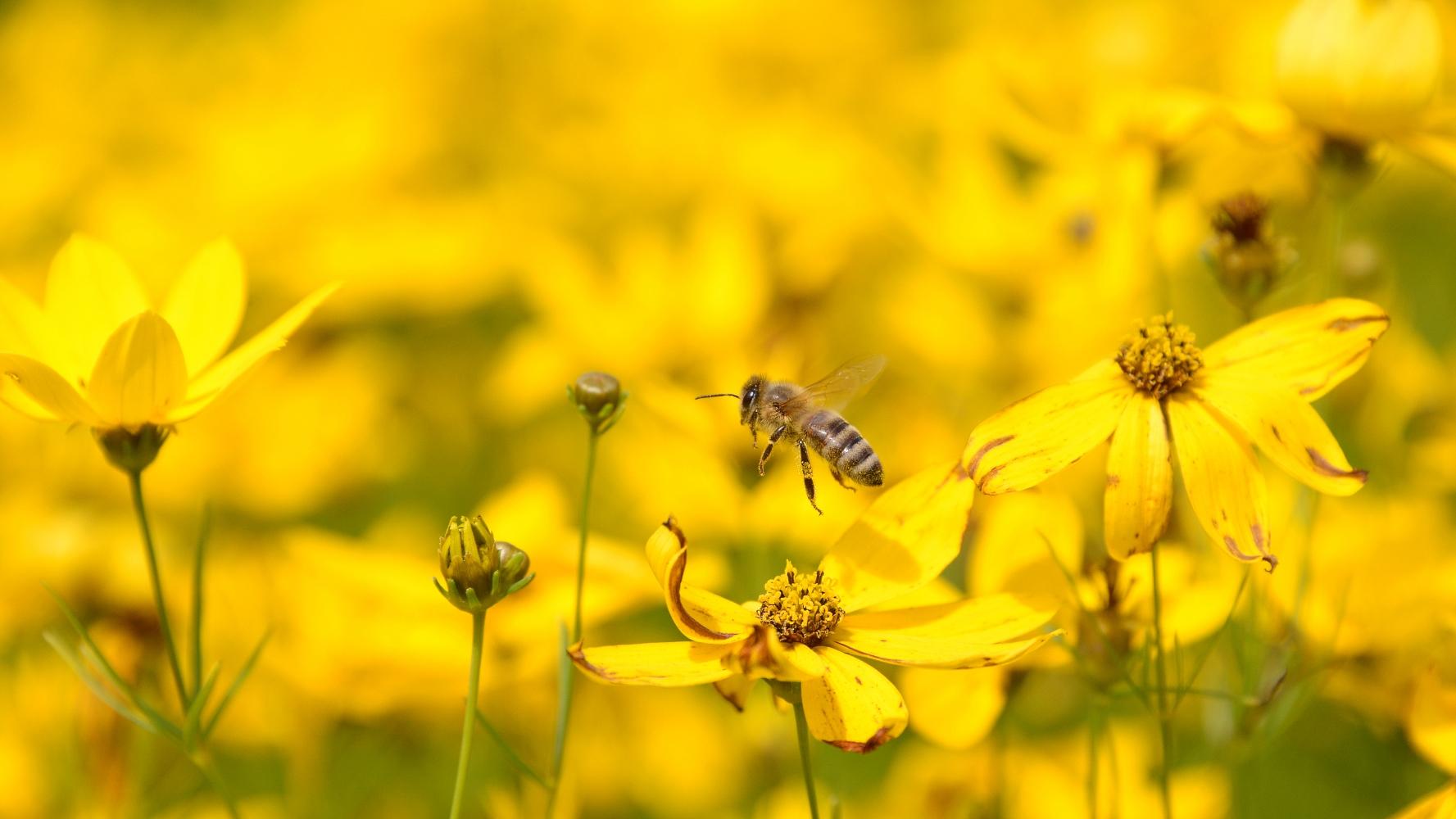 Biene im Blütenmeer © Lars Baus 2017