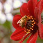 Biene im Spätsommer © Lars Baus 2017