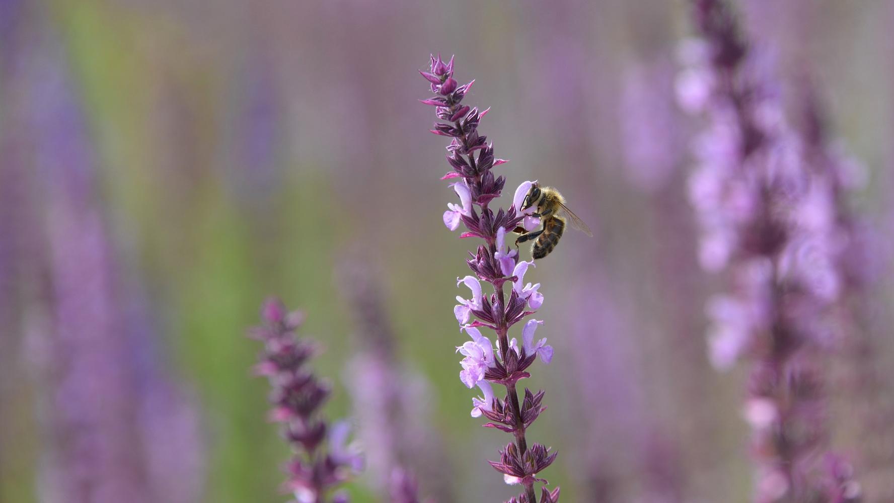 Biene in Magenta © Lars Baus 2017