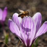 Biene und Krokus © Lars Baus 2018