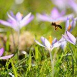 Biene und Krokusse © Lars Baus 2015