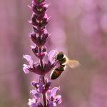 Biene und Lupine © Lars Baus 2018
