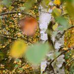 Birke im Herbst © Lars Baus 2016