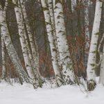Birken im Schnee © Lars Baus 2017