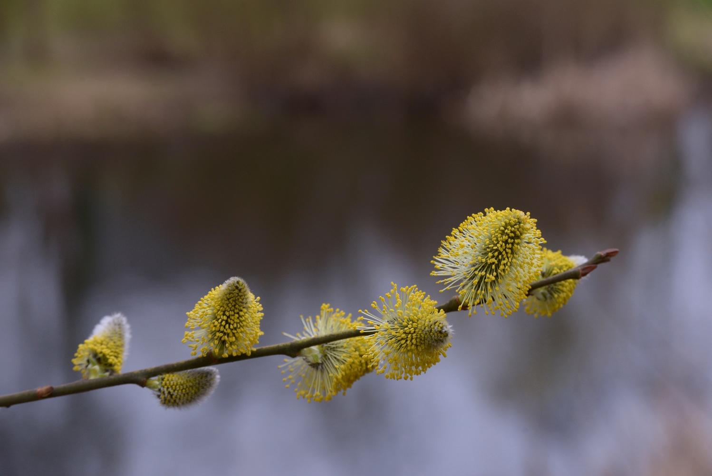 Blühende Weidenkätzchen © Lars Baus 2019