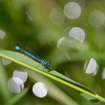 Blaue Libelle im Schilf © Lars Baus 2017