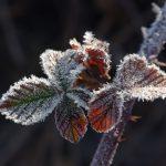 Brombeerblätter im Frost © Lars Baus 2019