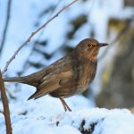 Drossel im Winterwald © Lars Baus 2019