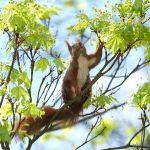 Eichhörnchen im Ahornbaum © Lars Baus 2016