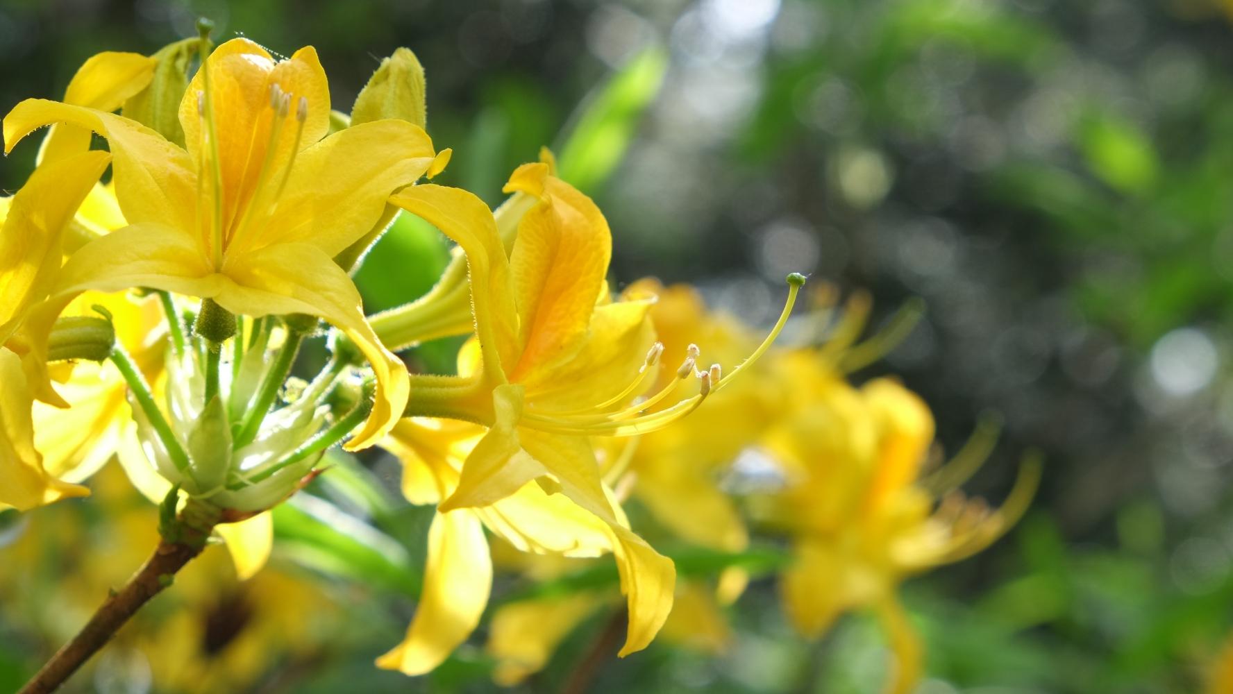 Gelber Rhododendron © Lars Baus 2018