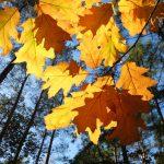 Goldenes Herbstlaub © Lars Baus 2017