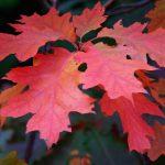 Herbstlaub der Spitzeiche © Lars Baus 2013