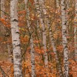 Herbstlicher Birkenhain © Lars Baus 2018
