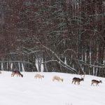 Hirsche im Schnee © Lars Baus 2013