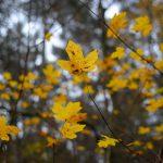 Junger Ahorn im Herbst © Lars Baus 2014