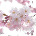 Kirschblüte © Lars Baus 2015