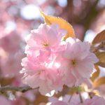 Kirschblüte © Lars Baus 2018