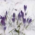 Krokusse im Schnee © Lars Baus 2016