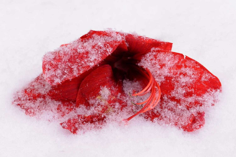 Lilienblüte im Schnee © Lars Baus 2014