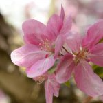 Obstblüte © Lars Baus 2015