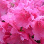 Rhododendronblüten © Lars Baus 2018