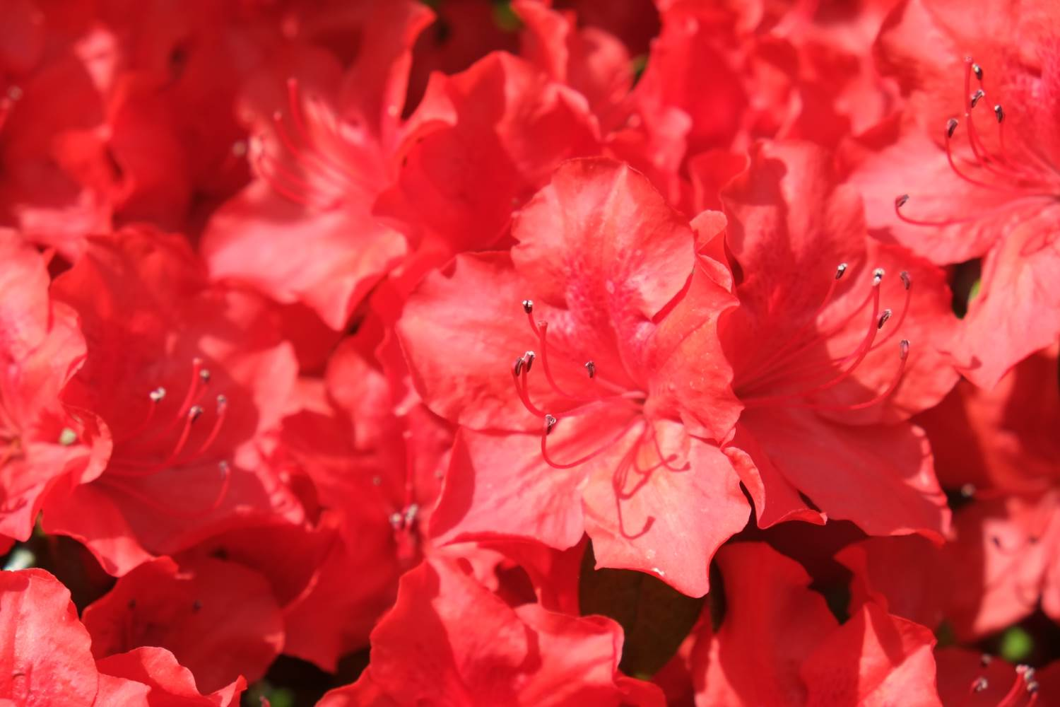 Roter Rhododendron © Lars Baus 2015