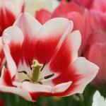 Rotweisse Tulpe © Lars Baus 2019