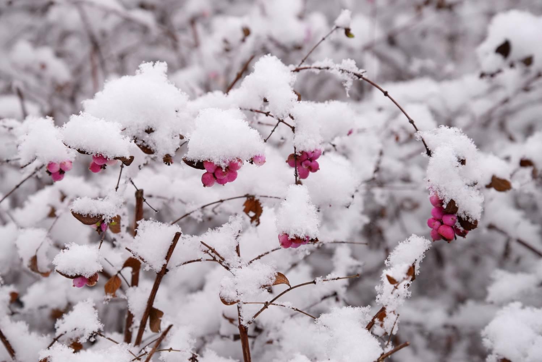 Schneebeeren © Lars Baus 2014
