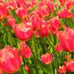 Tulpen im Wind © Lars Baus 2013