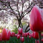 Tulpen und Magnolienbaum © Lars Baus 2013