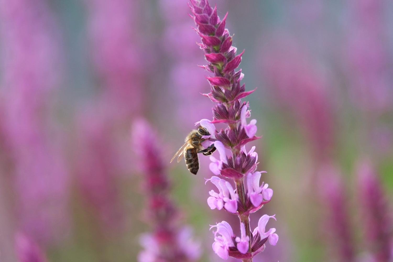 Wildbiene und Blutweiderich © Lars Baus 2019
