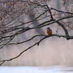Winterabend mit Eisvogel © Lars Baus 2019