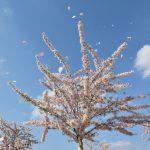 Zierkirschenblüte © Lars Baus 2019